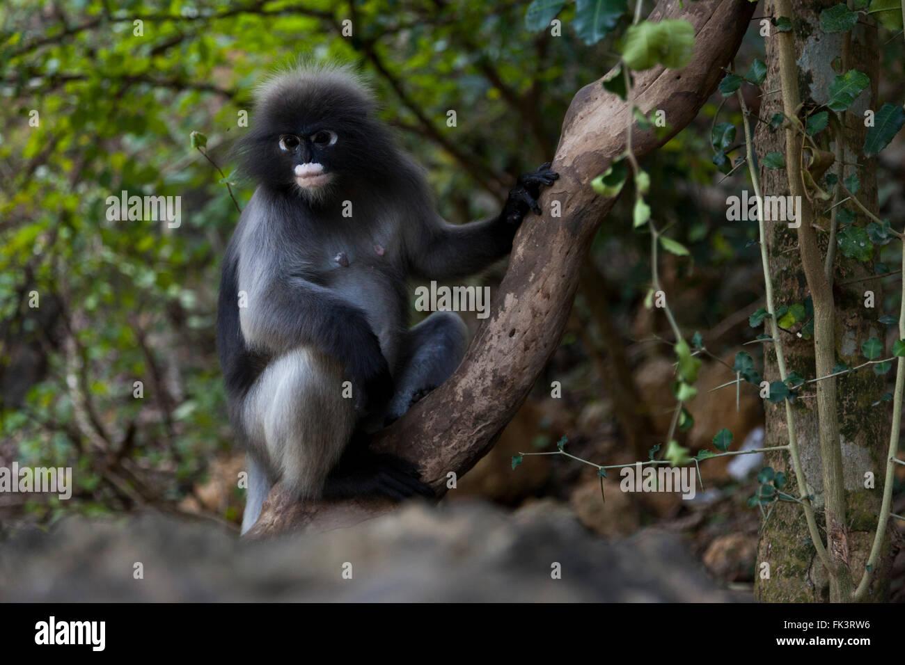 Langur monkey (Trachypithecus obscurus), in the historical Park of Khao Lommuak (Prachuap Khiri Khan - Thailand). - Stock Image
