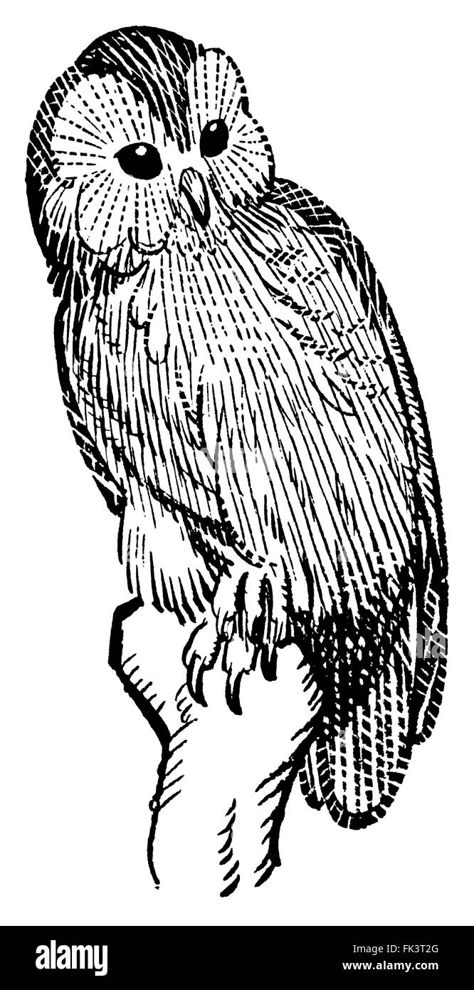 Woodcut of a barn owl, attributed to Arthur Watts. - Stock Image