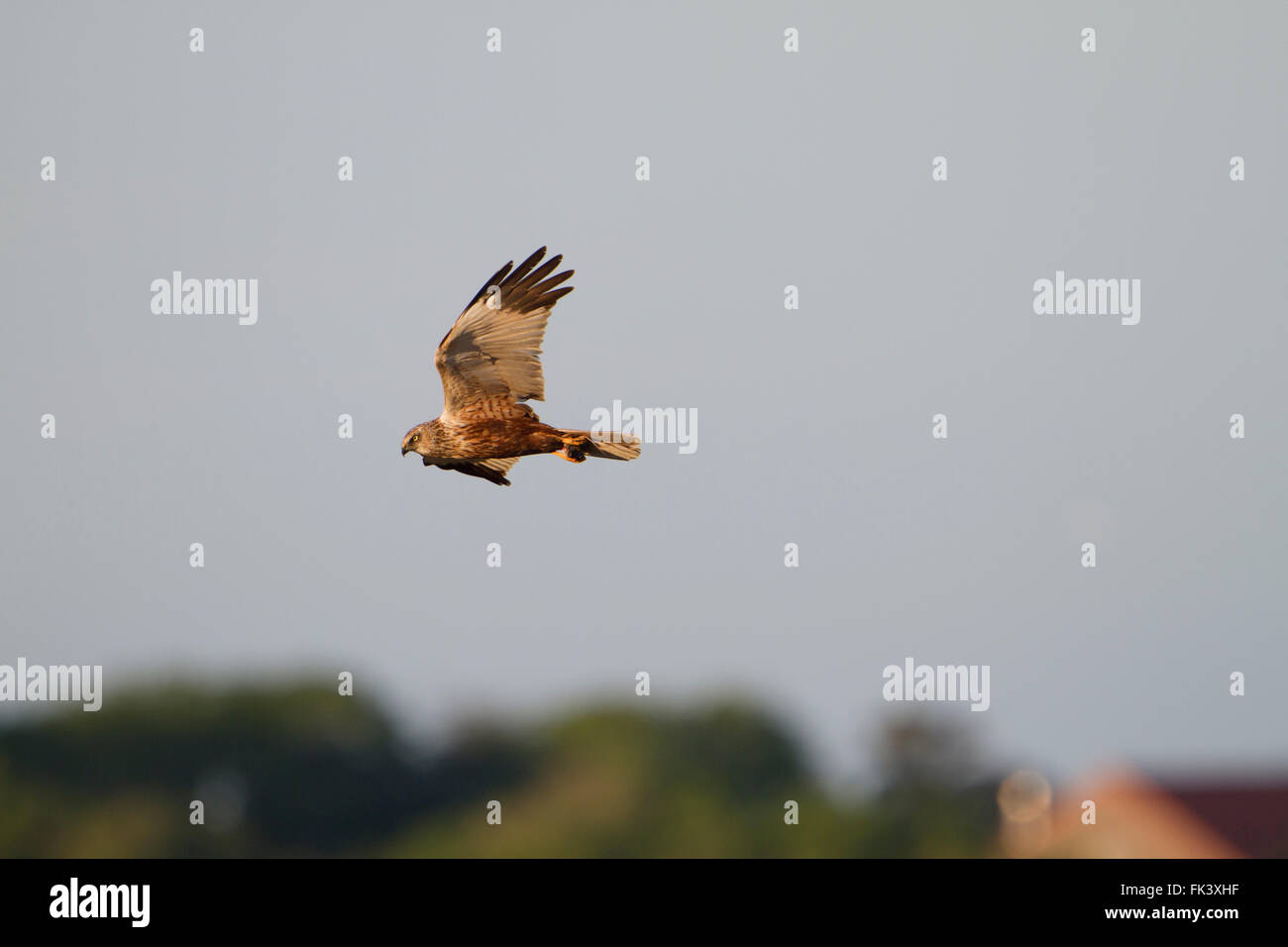 Marsh Harrier; Circus aeruginosus Single in Flight with Prey in Talons Suffolk; Uk Stock Photo