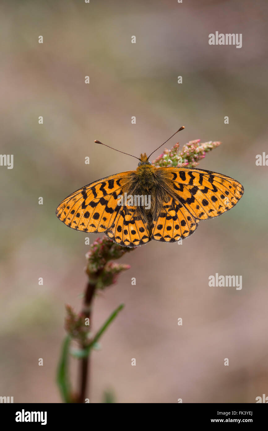 Pearl Bordered Fritillary Butterfly; Boloria euphrosyne Single ; Cornwall; UK - Stock Image