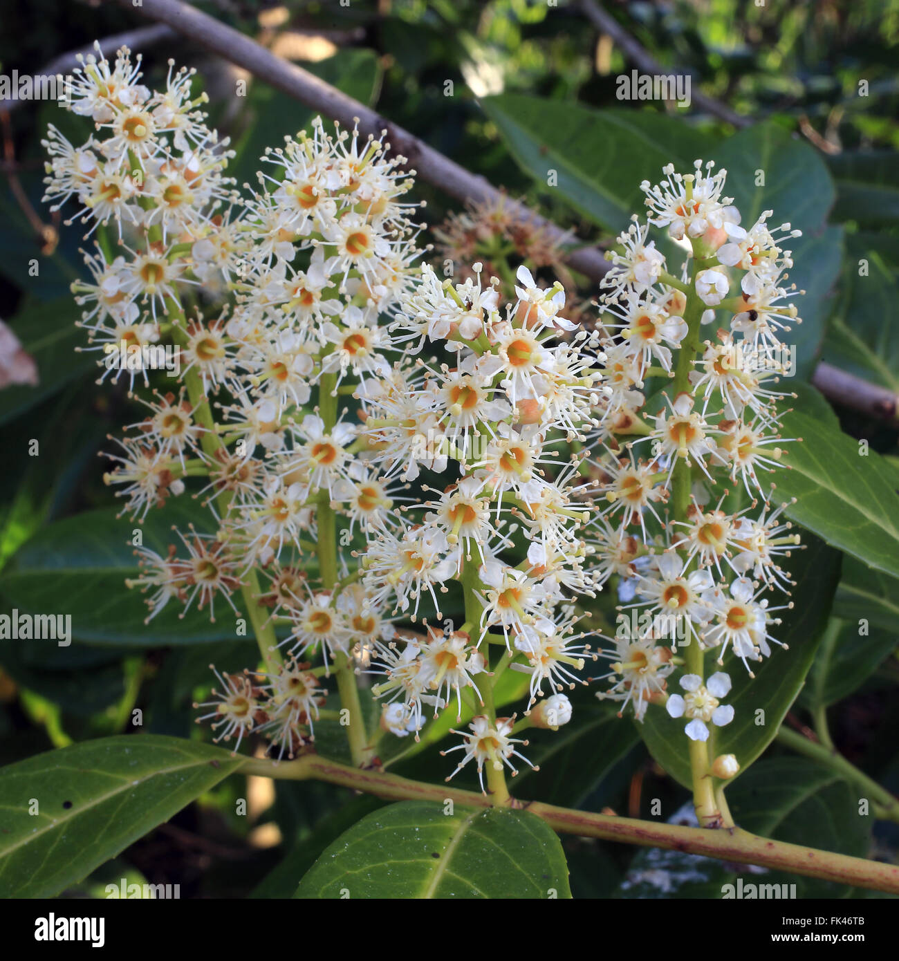 Flower heads of the Cherry Laurel (also known as Common Laurel or English Laurel, Prunus laurocerasus), Cornwall, - Stock Image