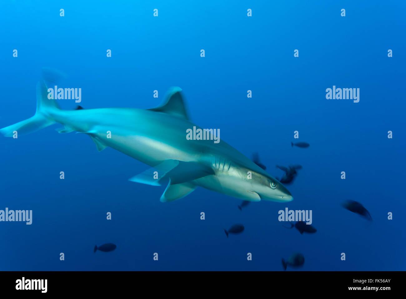 Silvertip reef shark (Carcharhinus albimarginatus) - Stock Image