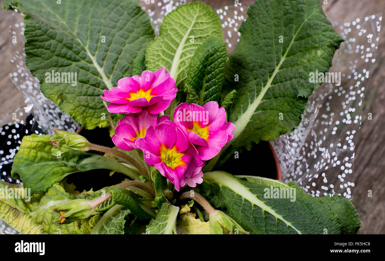 beautiful window pink plant in a pot - Stock Image