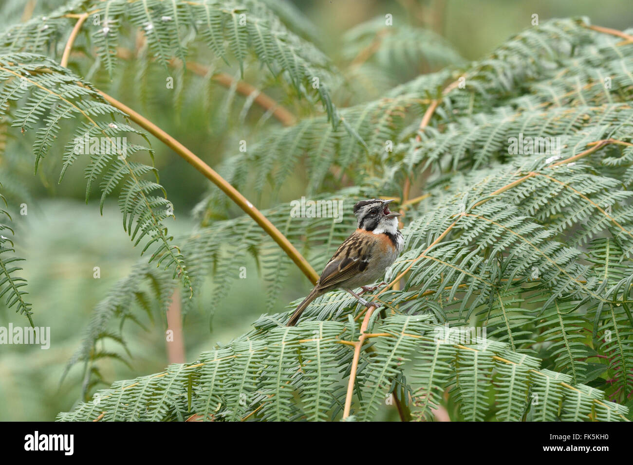A ringed Rufous-collared Sparrow perched on ferns, singing. Stock Photo