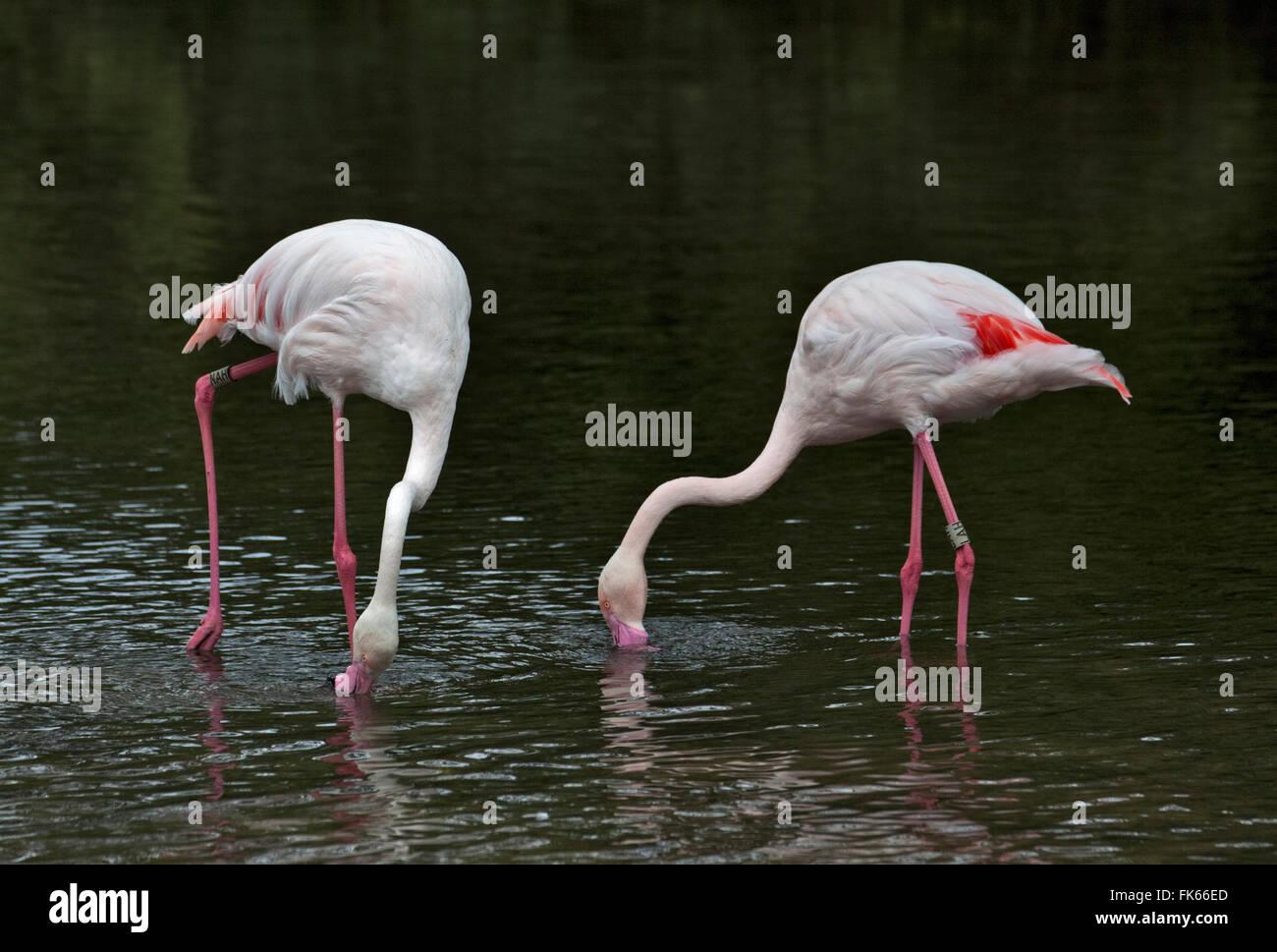 Greater Flamingos (phoenicopterus roseus) feeding Stock Photo