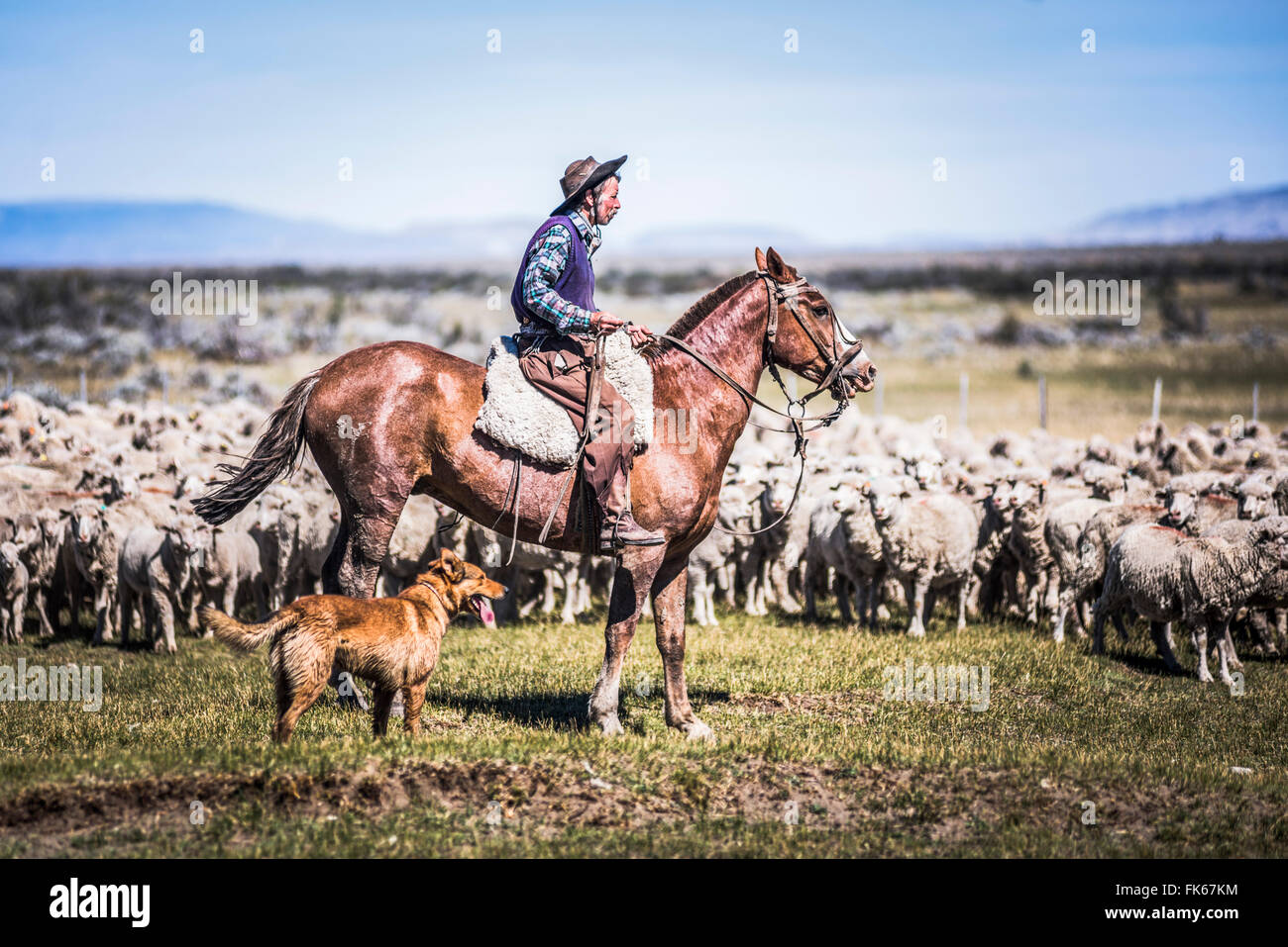 Gauchos riding horses to round up sheep, El Chalten, Patagonia, Argentina, South America - Stock Image