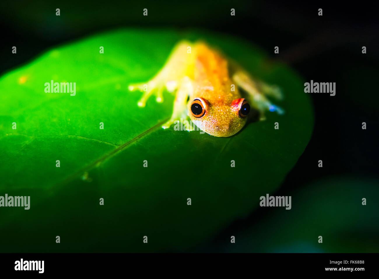 Frog in the Amazon Rainforest at night, Coca, Ecuador, South America - Stock Image