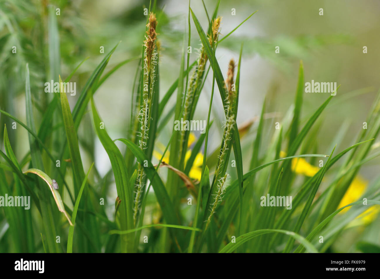 Wood sedge (Carex sylvatica). Flowering plant in the family Cyperaceae, growing in a British woodland - Stock Image