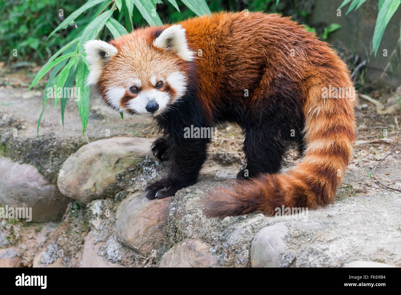 Red Panda (Ailurus fulgens), Sichuan Province, China, Asia Stock Photo
