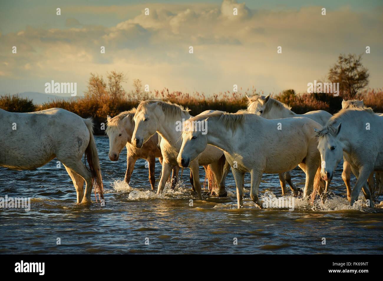 Wild white horses, Camargue, France, Europe - Stock Image
