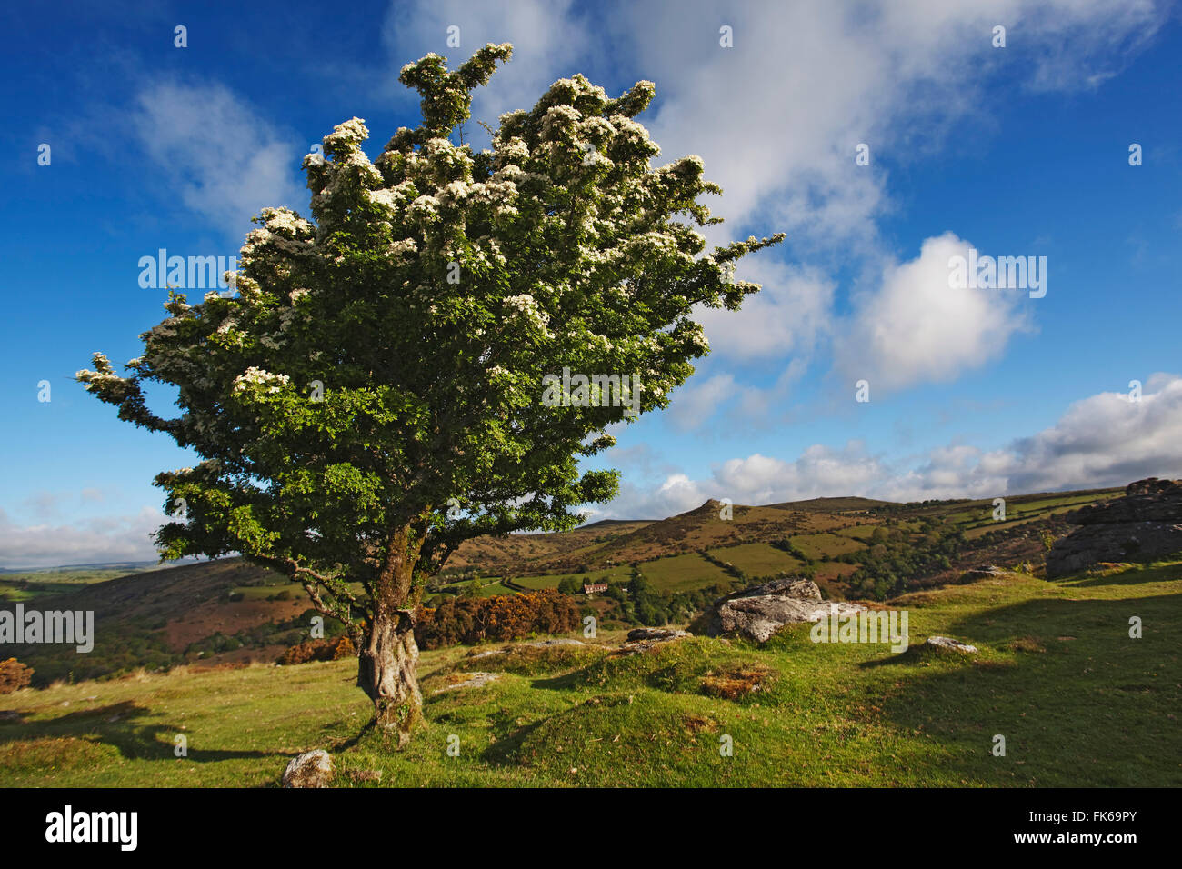 Hawthorn tree on Bench Tor, near Holne, Dartmoor National Park, Devon, England, United Kingdom, Europe - Stock Image