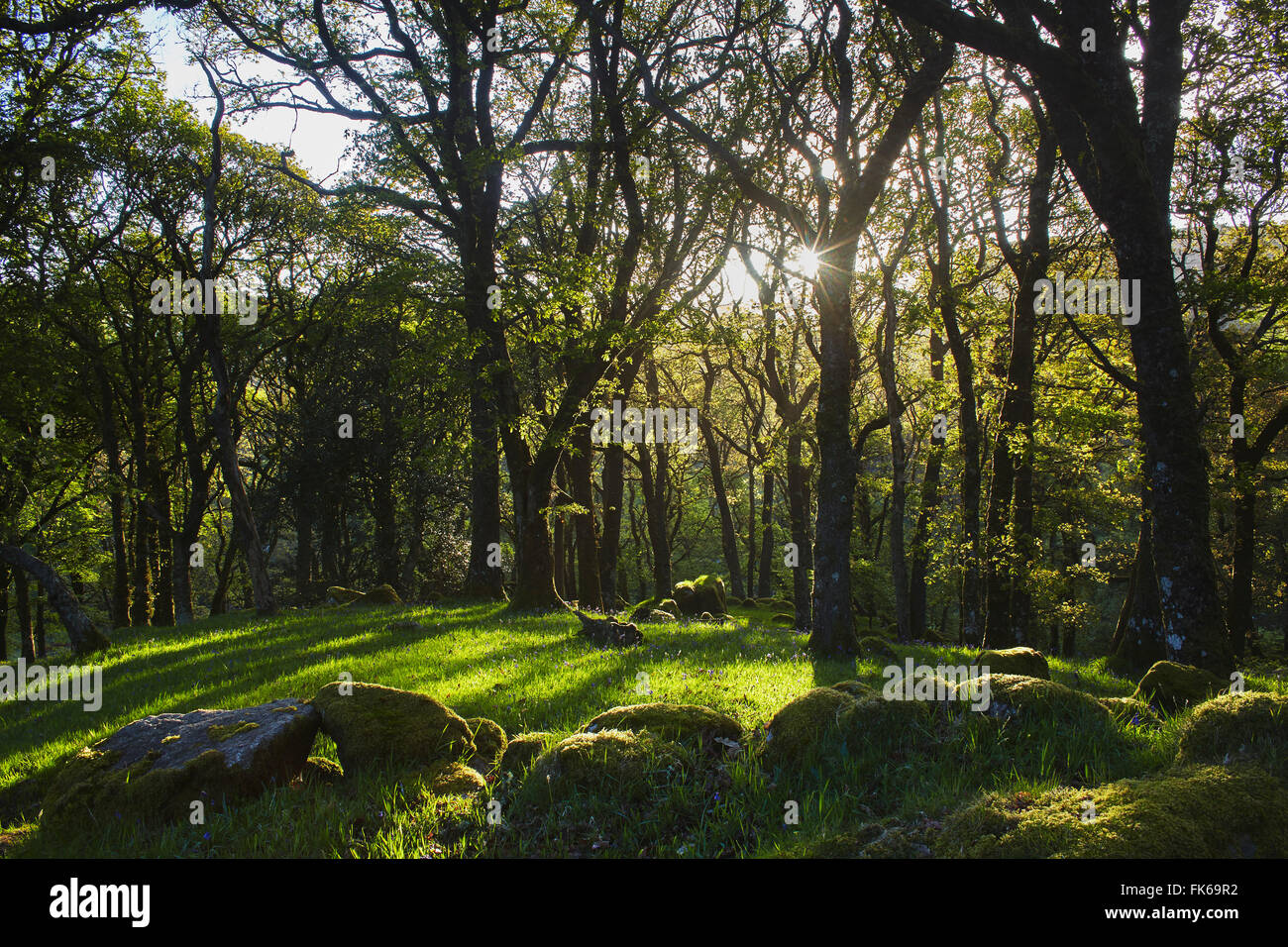 Ancient oak woodland in the Dart Valley, near Dartmeet, Dartmoor National Park, Devon, England, United Kingdom, - Stock Image