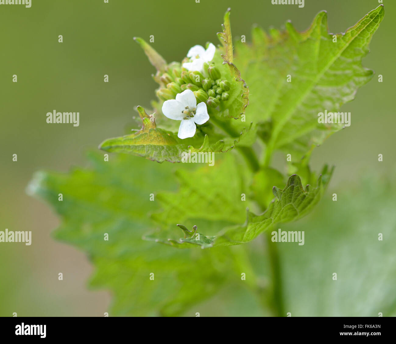 Garlic mustard (Alliaria petiolata). An biennial plant in the cabbage and mustard family (Brassicaceae), with white flowers Stock Photo