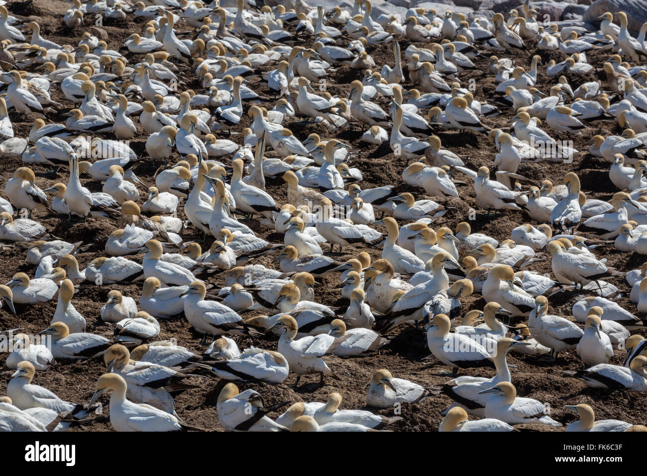 Cape gannet (Morus capensis), breeding colony, Lambert's Bay, South Africa, Africa - Stock Image