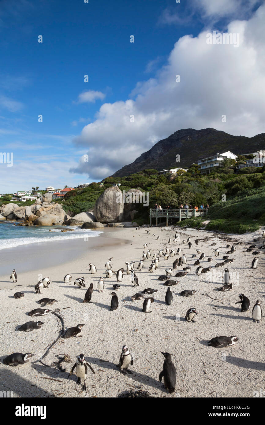 African penguins (Spheniscus demersus) on Foxy Beach, Table Mountain National Park, Simon's Town, Cape Town, - Stock Image