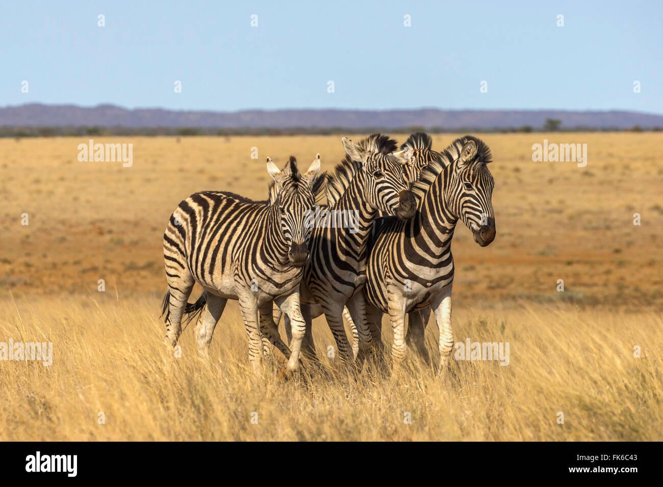 Pains zebra (Equus quagga burchelli), Mokala National Park, South Africa, Africa - Stock Image