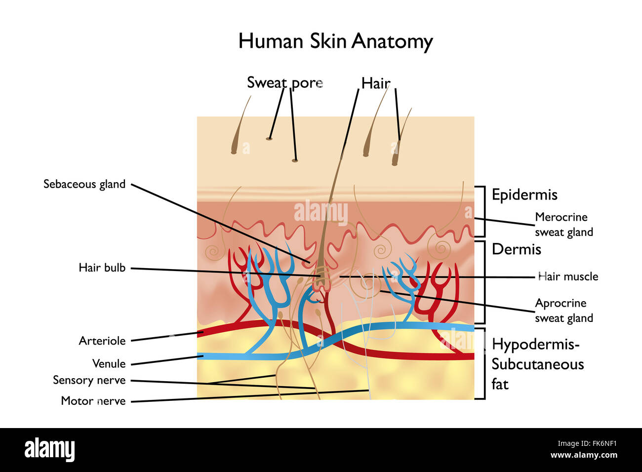 Human Skin Anatomy - detailed illustration with designations in English - Stock Image