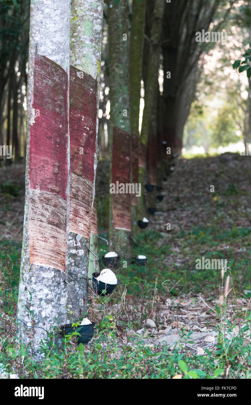 Rubber Tapping - Stock Image
