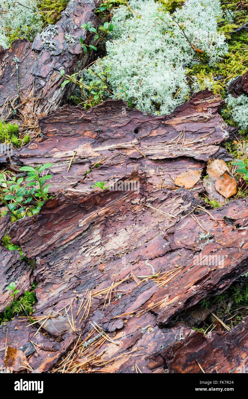 Fallen bark from dead pine tree - Stock Image