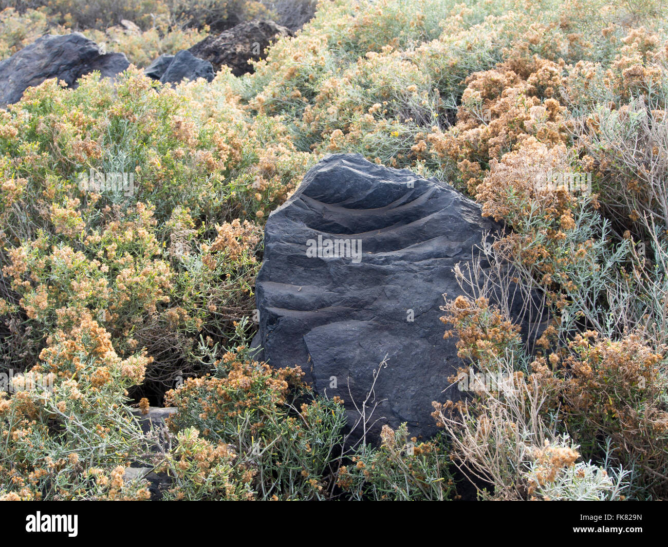 Solidified volcanic  lava stone with pleasing curves in a field of withered flowering plants, coastal scene from - Stock Image
