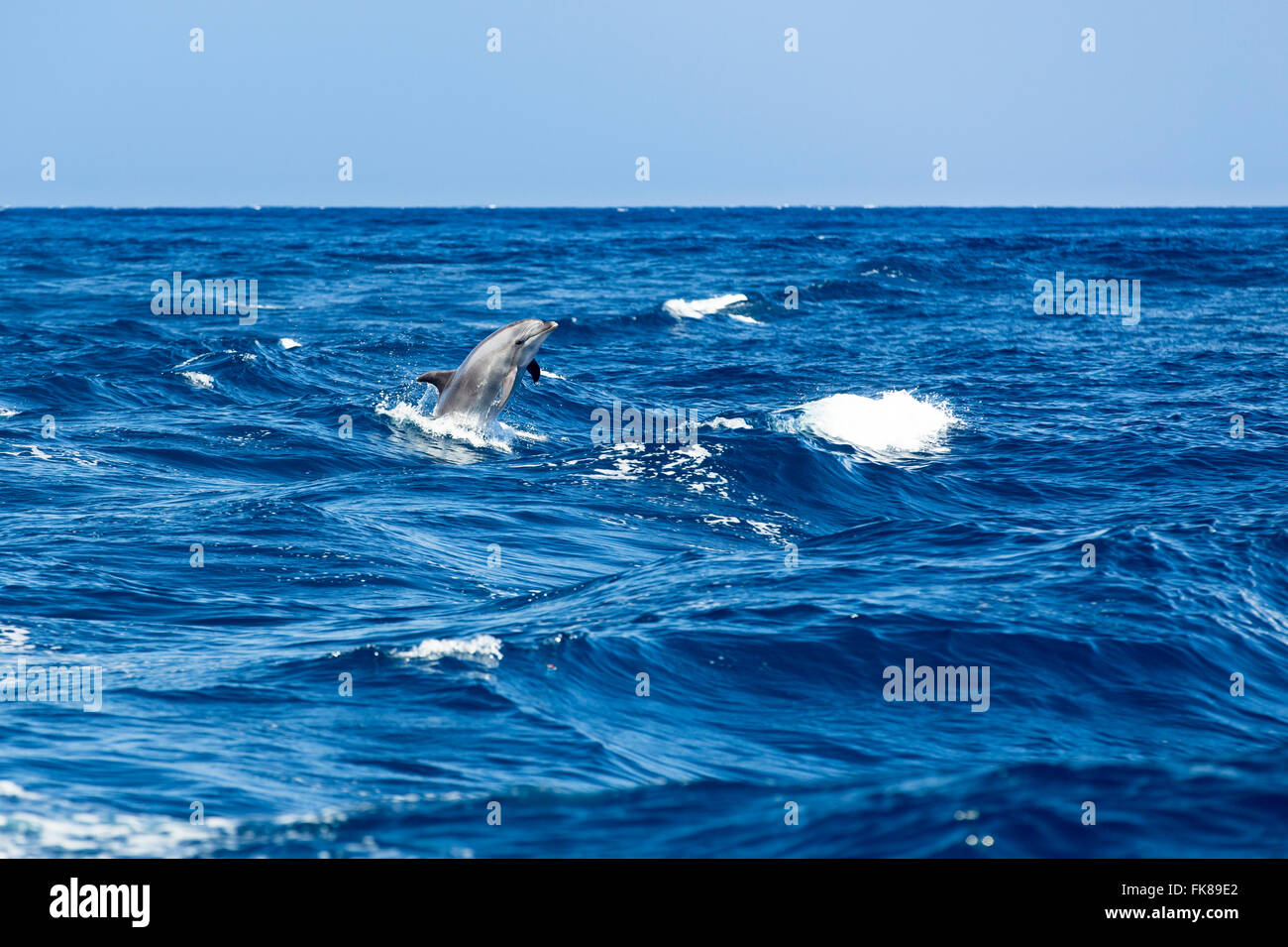 Bottlenose dolphin (Tursiops truncatus) jumping out of the water at Los Gigantes, Atlantic, Tenerife, Canary Islands, Stock Photo