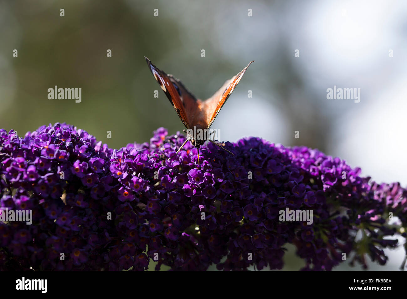 Brown butterfly on flower - Stock Image
