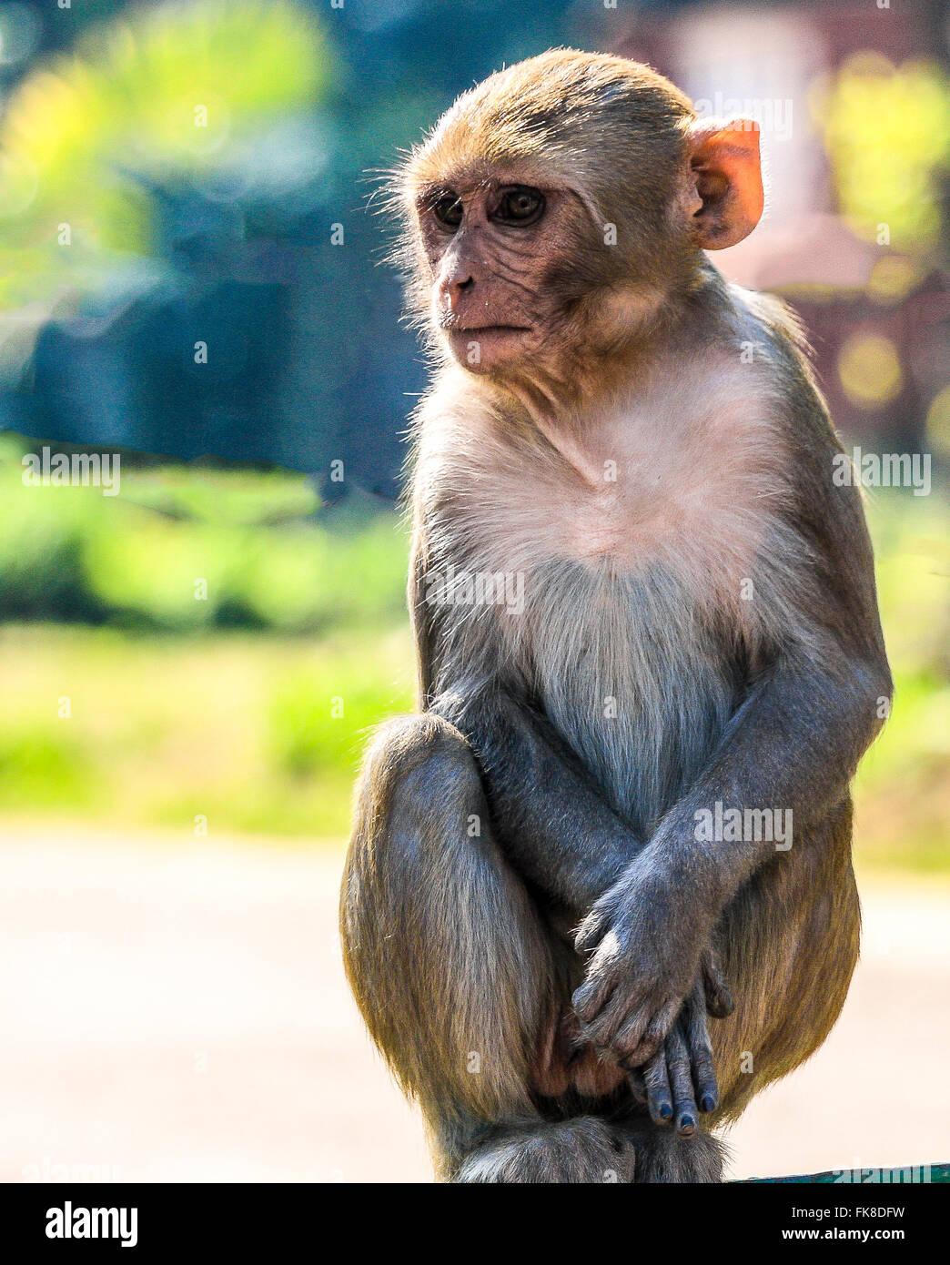 Young Rhesus Macaque monkey playing - Stock Image