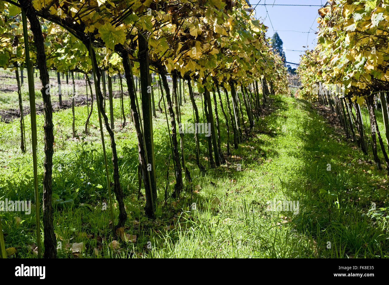 Vineyard in rural property in the tourist itinerary Road Taste - Stock Image