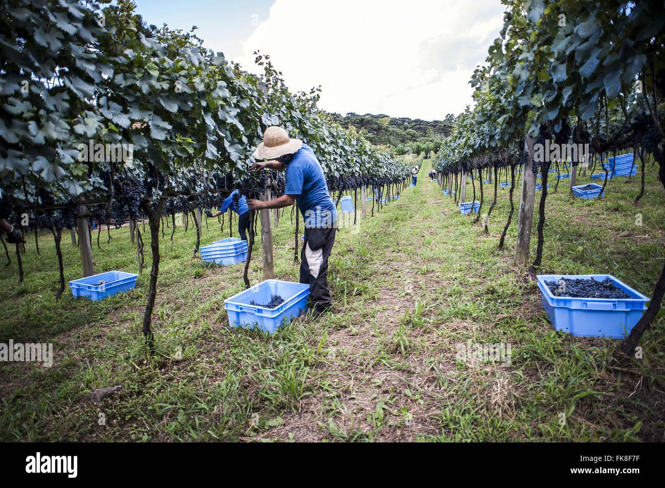 Colheita de uva tipo Merlot em cultivo vertical chamado espaldeira - Stock Image