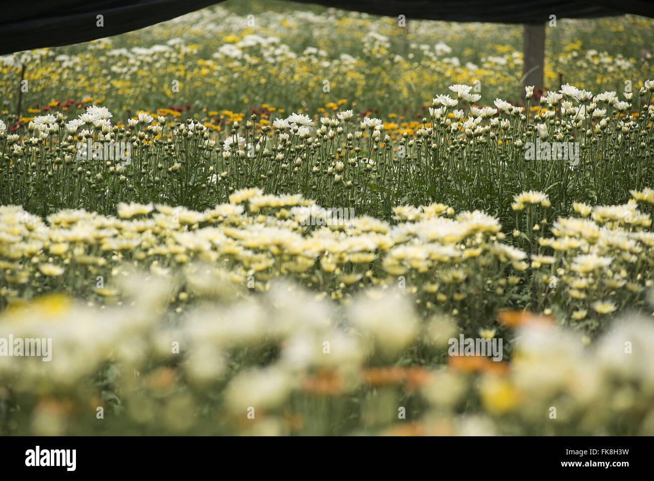 Planting chrysanthemums in the greenhouse Gale neighborhood - Stock Image