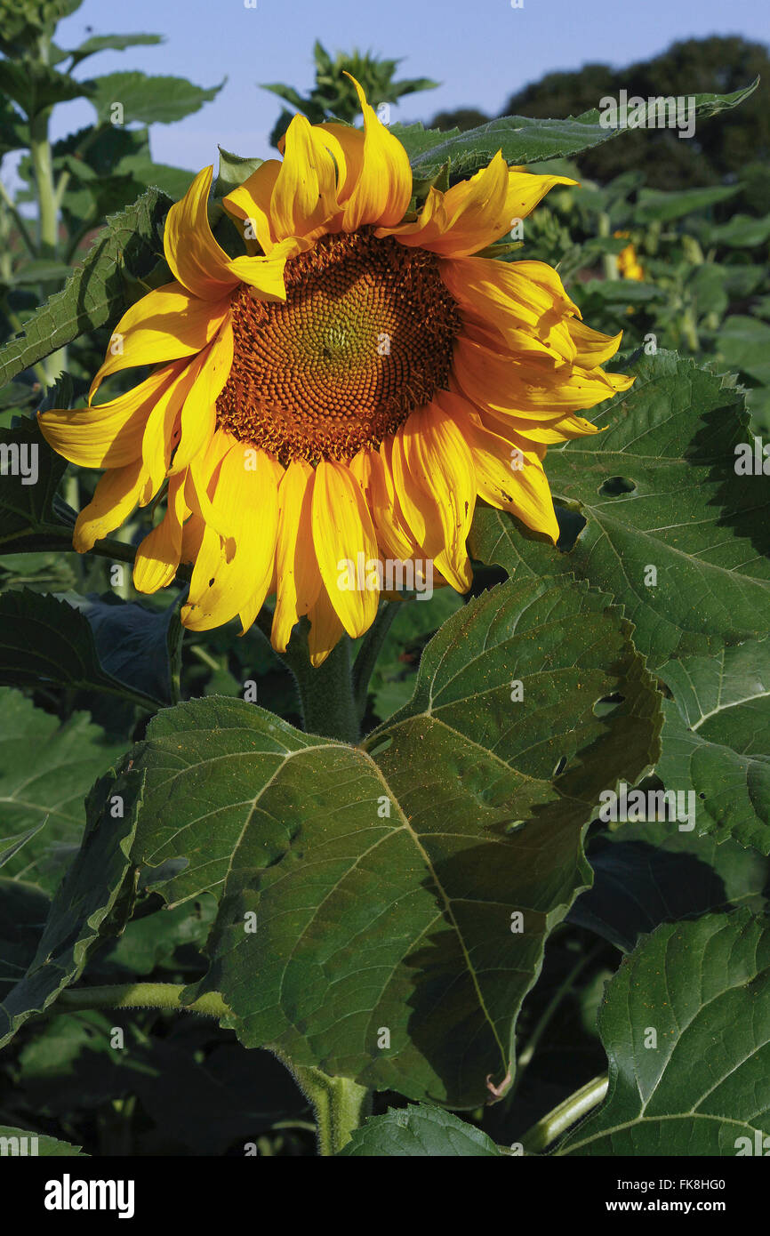 Detail of sunflower in countryside - Stock Image