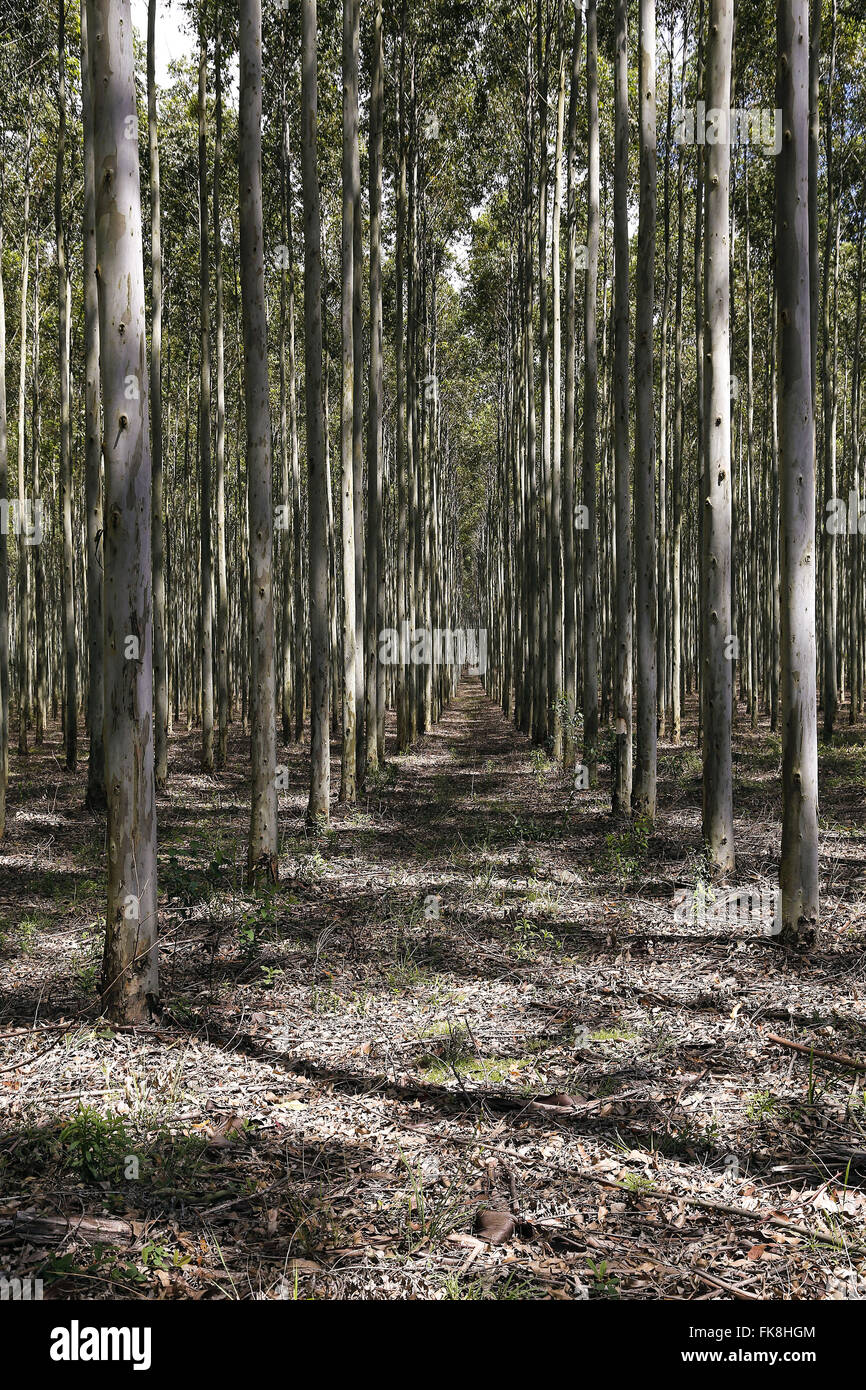Plantation of eucalyptus in area previously completely arenizada - Stock Image