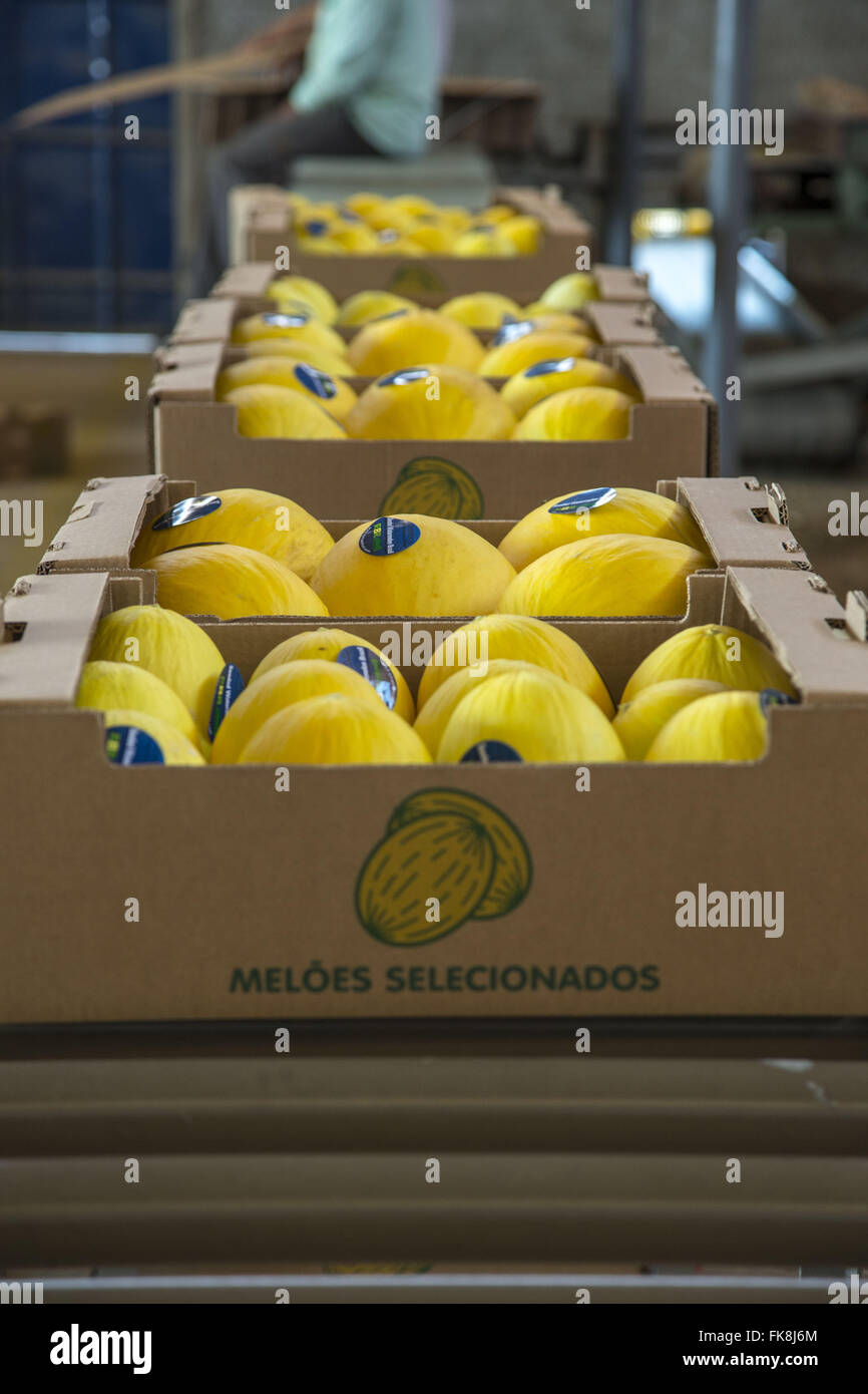 Melons packaged and labeled for distribution in domestic and foreign markets - Stock Image