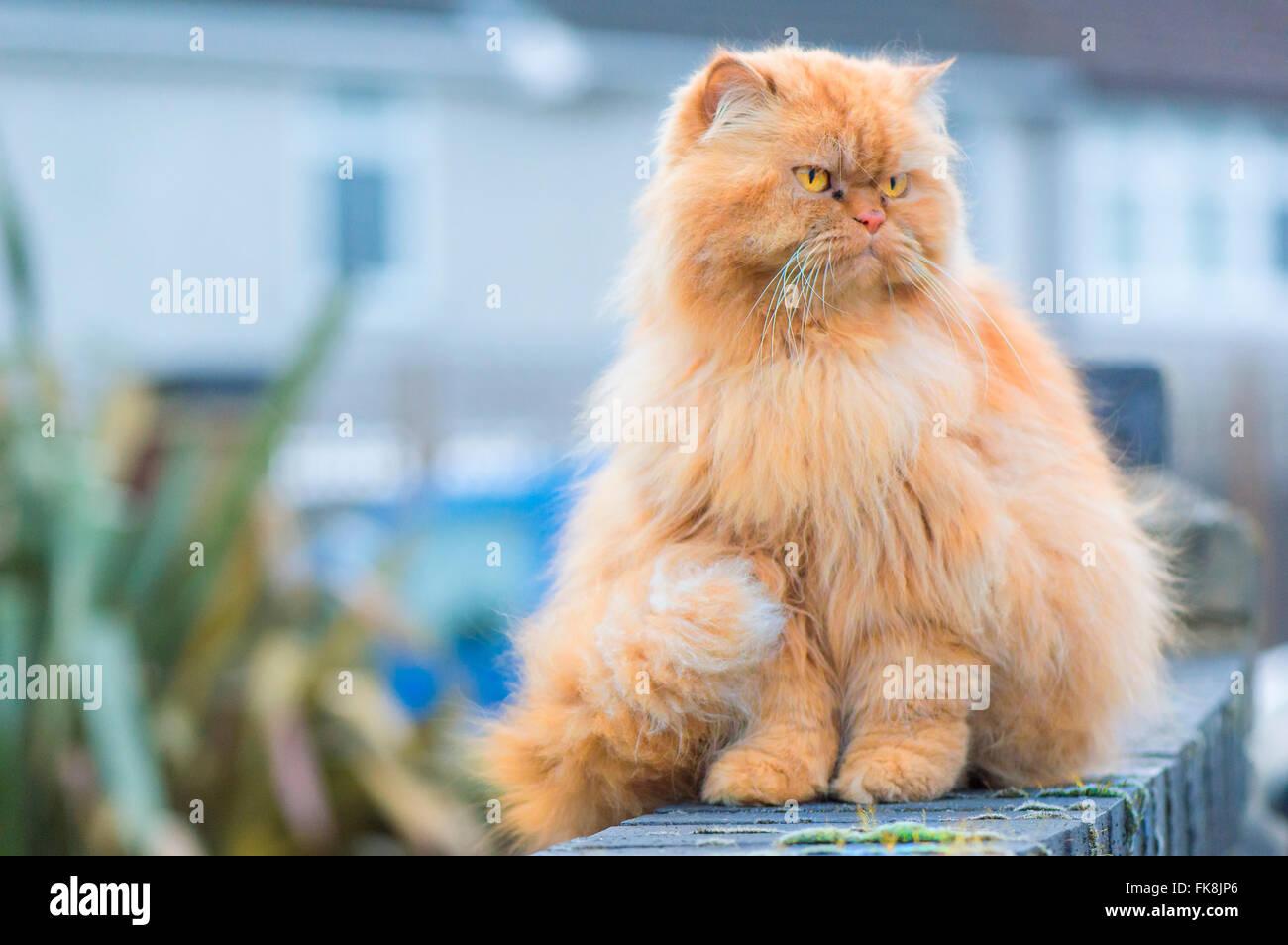 Grumpy Cat - Stock Image
