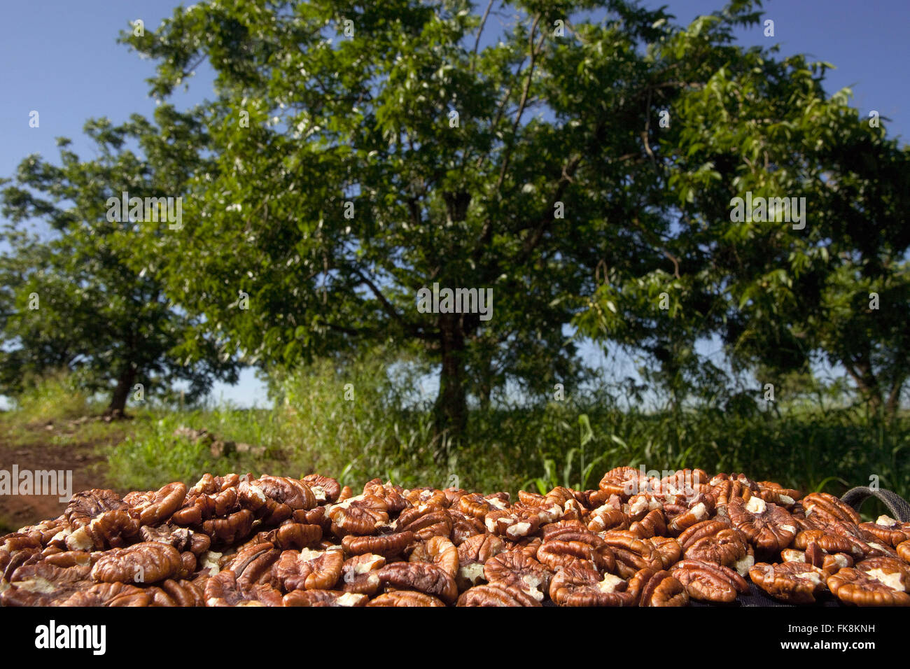 Hickory and pecan nuts sins or to commercialization - Stock Image