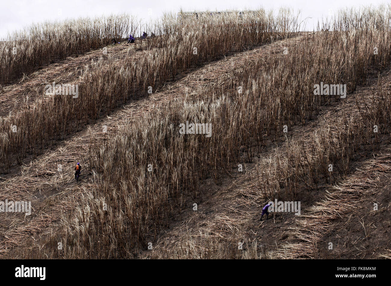 Cutters cane sugar - sugar plantation on the edge of AL-101 highway - Stock Image