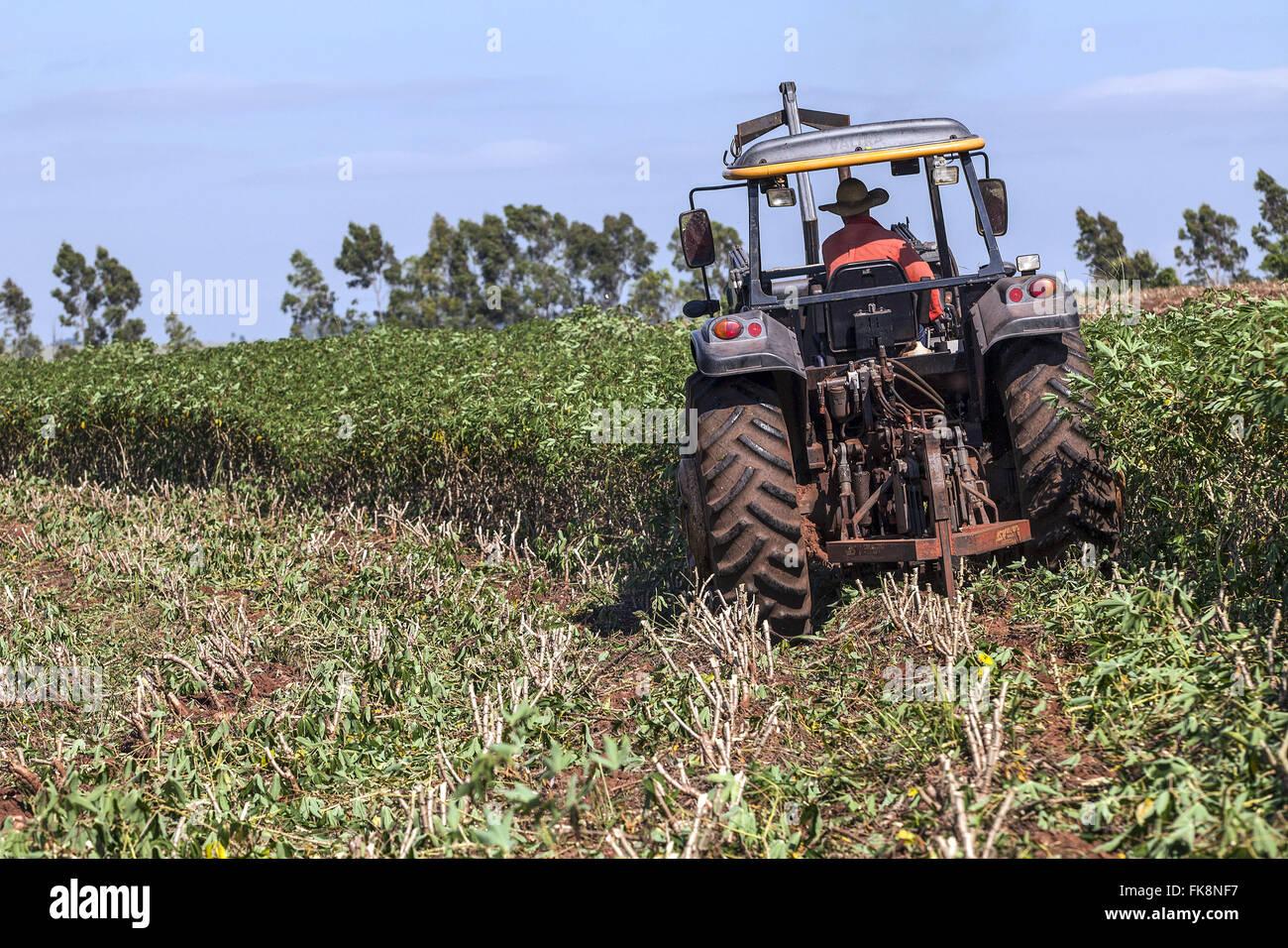 Mechanized harvesting manioc for flour production - Stock Image