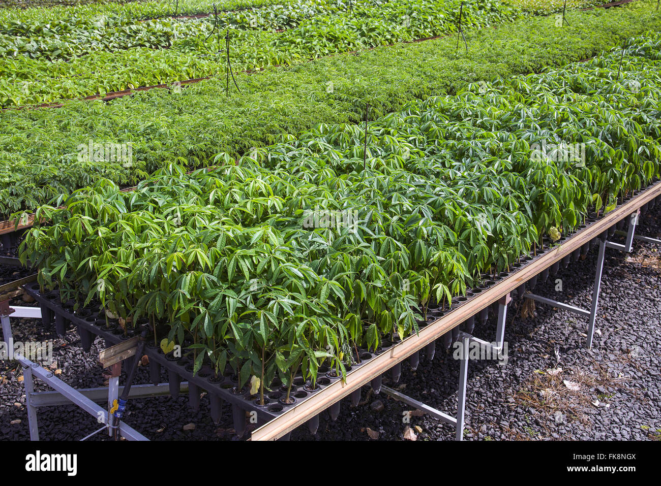 Nursery with native seedlings for reforestation of the Atlantic Forest Stock Photo