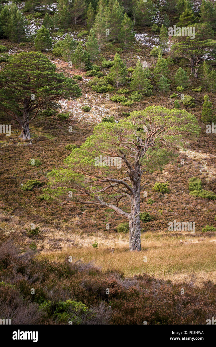 Scots Pine at Glen More in Scotland. - Stock Image