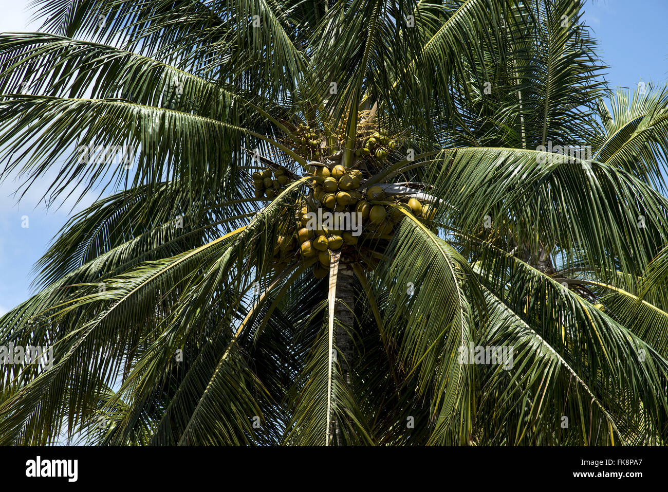 Coconut tree with fruit - South Coast state - Stock Image