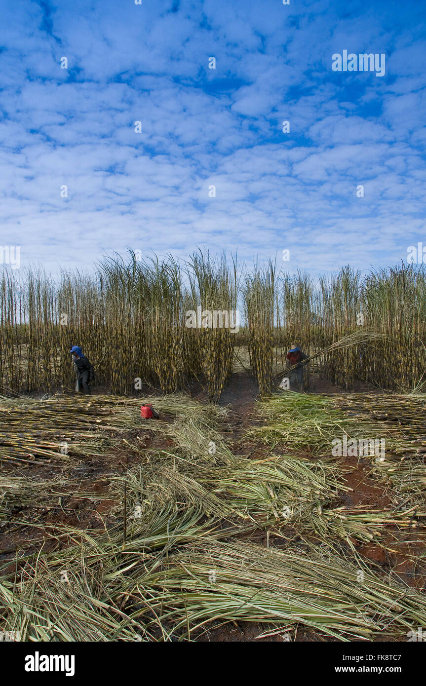 Manual harvesting of sugar cane - Stock Image