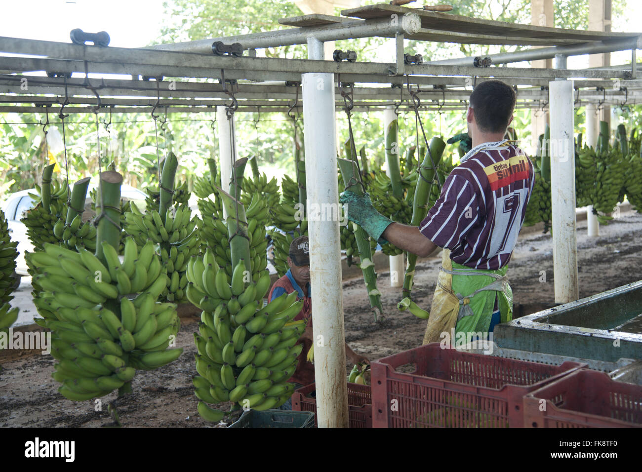 Lease beneficiation of bananas in the Ribeira Valley - Stock Image