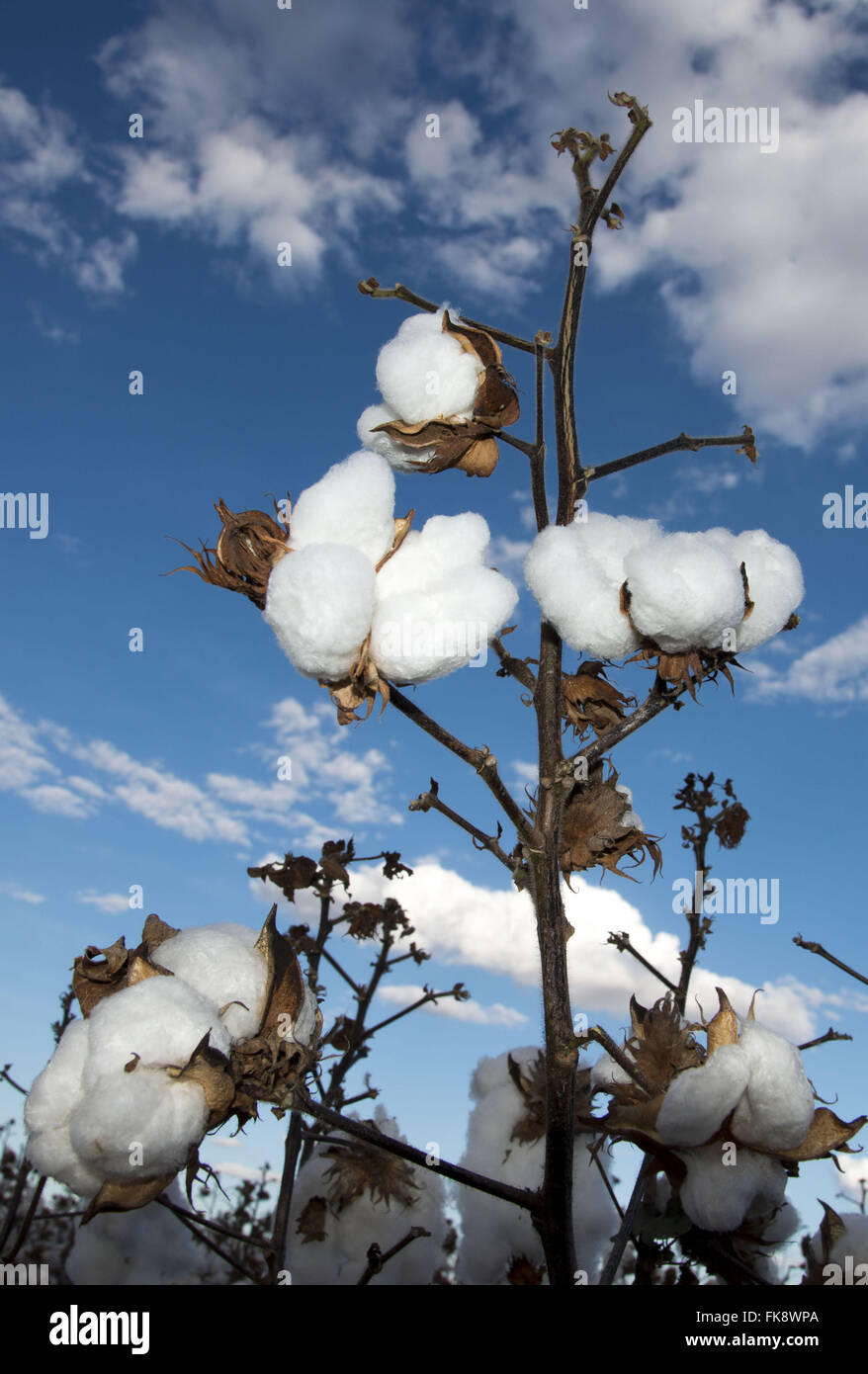 Cotton plantation in the countryside of Old Wheels district of the municipality of Sao Desiderio - Stock Image