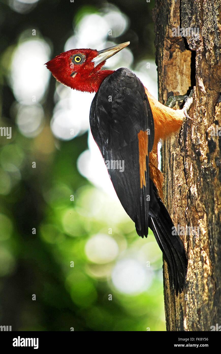 Pica-pau-de-plume - rubricollis Campephilus - male - Stock Image
