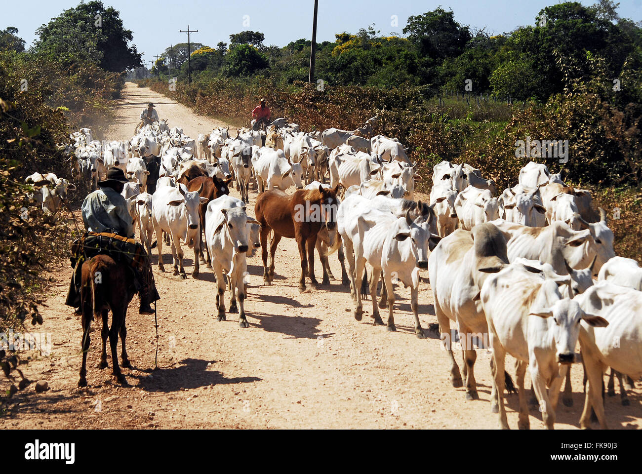 Entourage moving cattle in search of shoots or natural pastures at the beginning of the dry - Stock Image