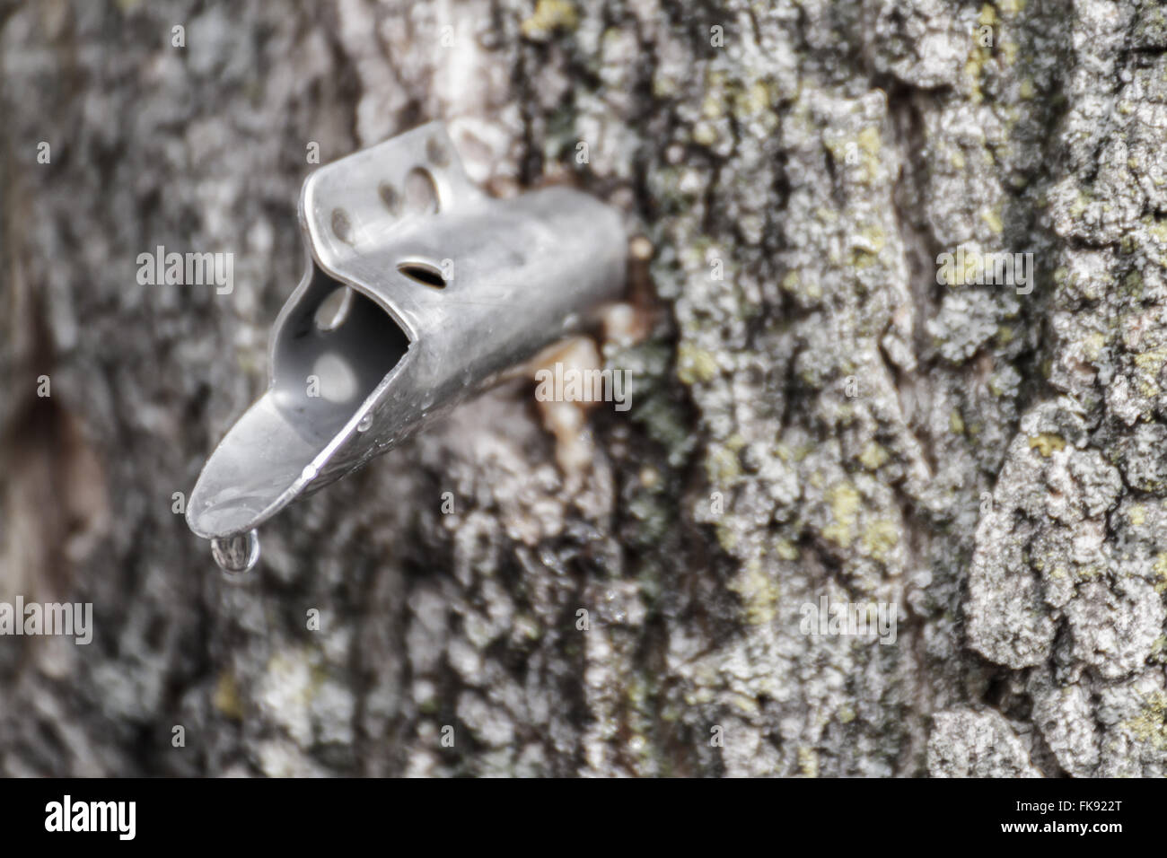 Sap dripping from a spile in a maple tree - Stock Image