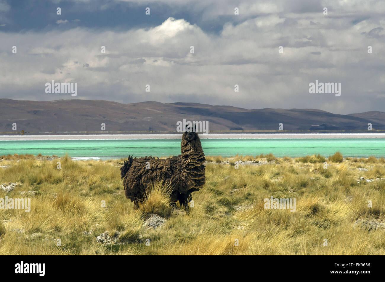 Llamas in laguna del Hombre Muerto Salar in Antofagasta de la Sierra - Stock Image