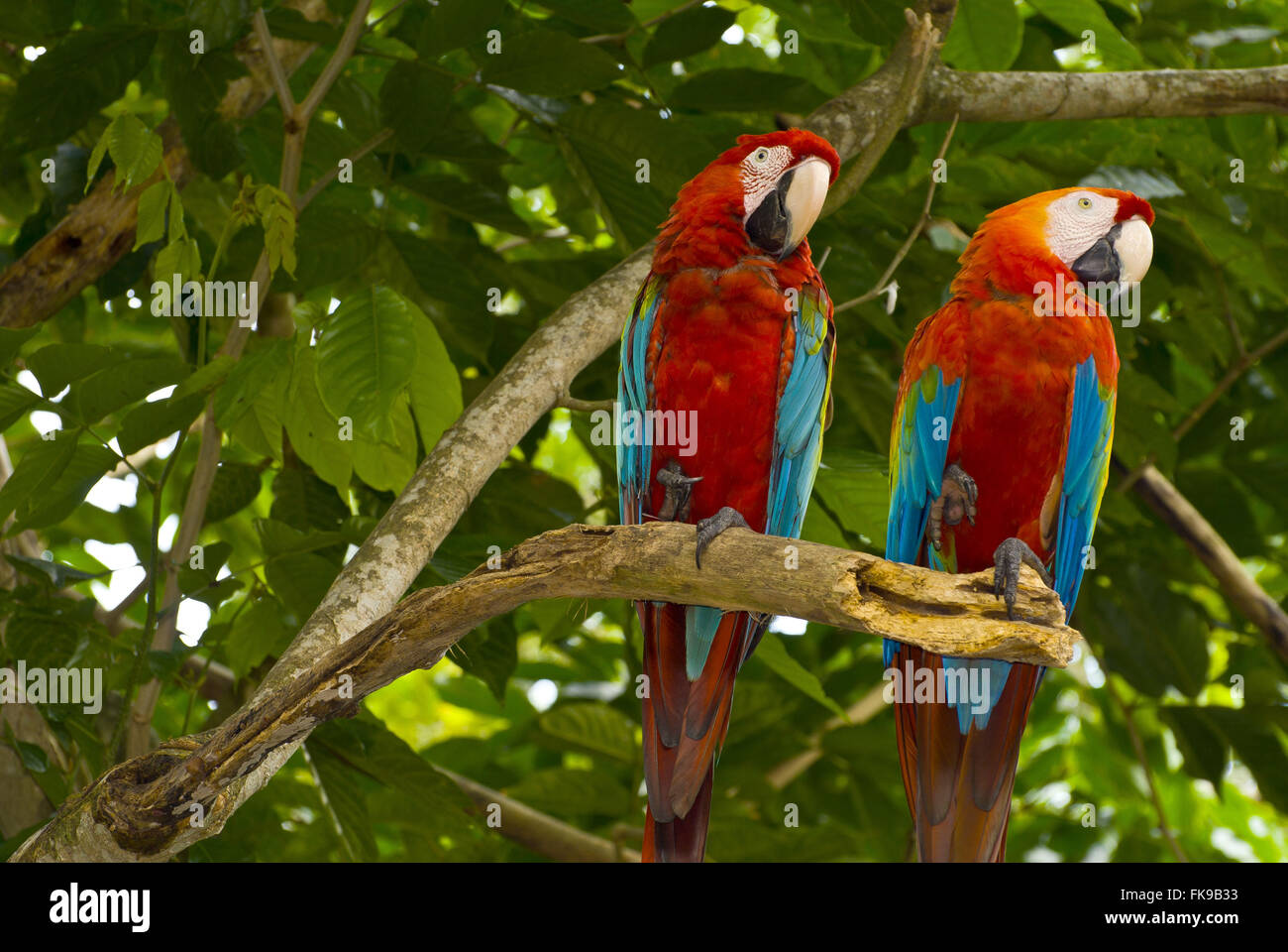 Double-wide red macaw - Ara chloropterus inn branch - Stock Image