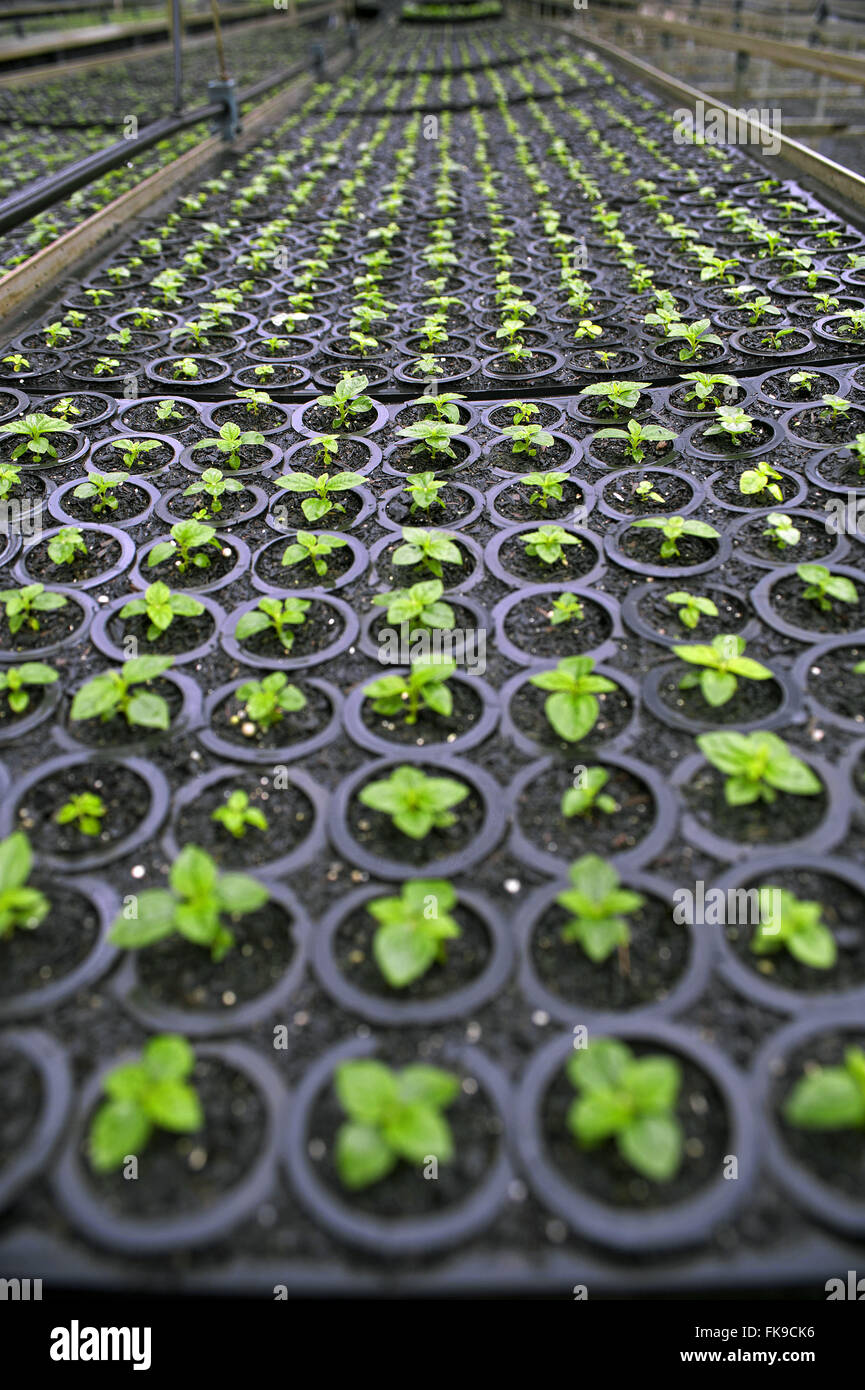Nursery seedlings of native species for reforestation of Forest Alantica. - Stock Image