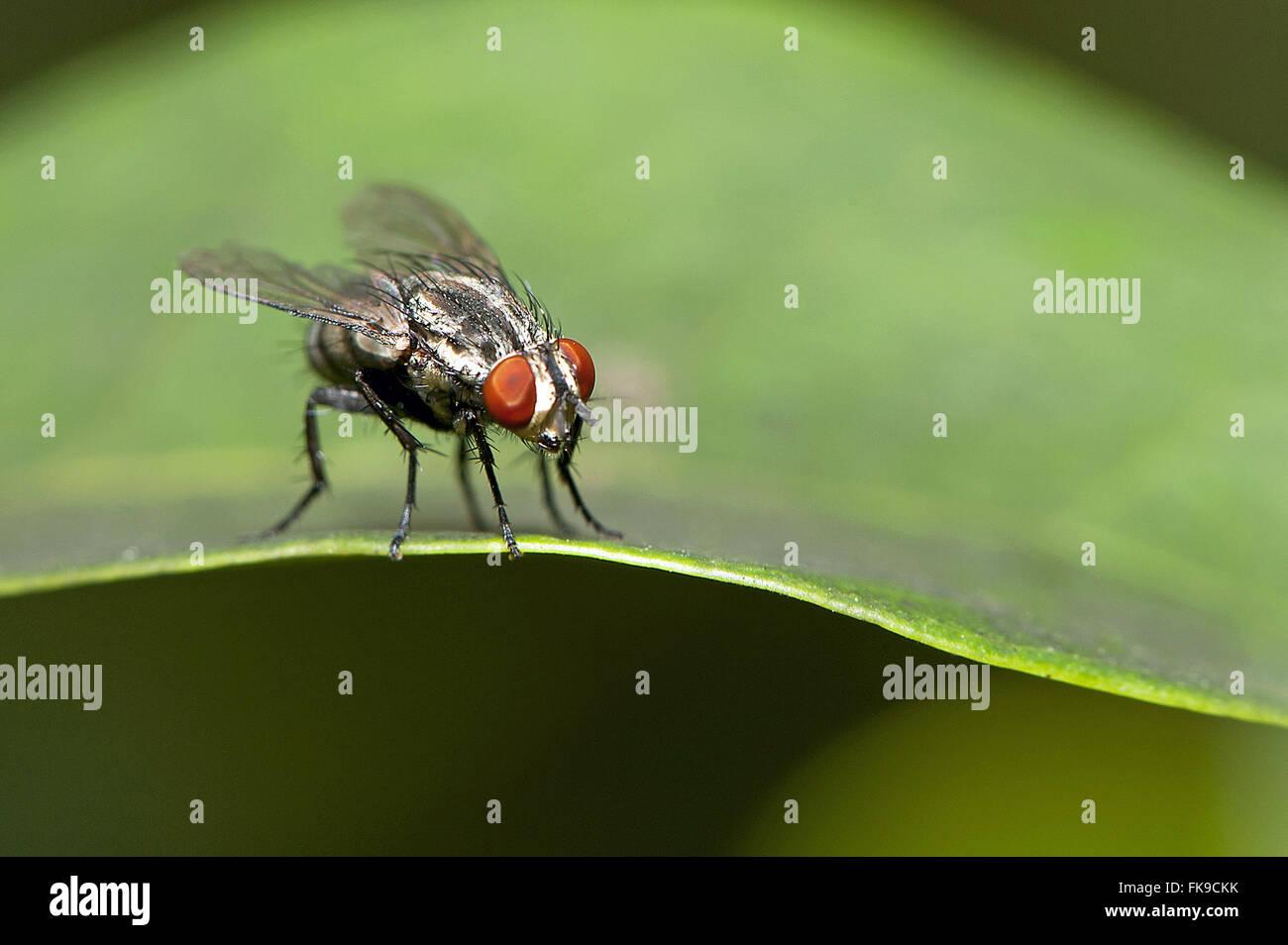 Domestica fly - Musca domestica - Stock Image